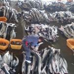 Shark Fin Cutting (Kesennuma Fish Market)