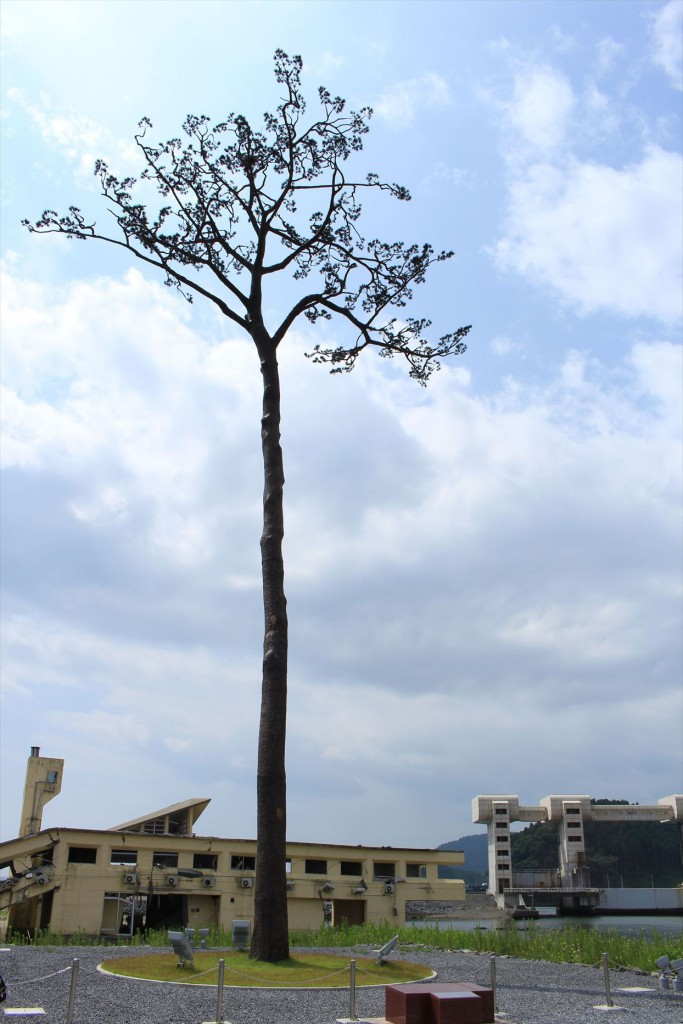 The Miracle Pine Tree which is the only one out of 70,000 survived the tsunami.